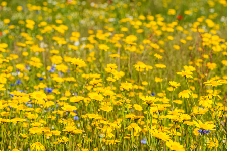30419107 - closeup of yellow blooming corn daisy or glebionis segetum plants in their natural habitat with other wildflowers