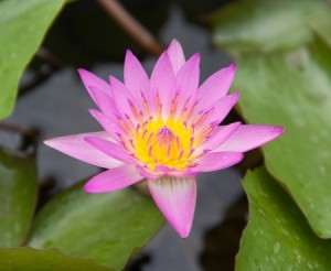 21219167 - beautiful purple-pink color lotus on pond
